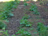 Garden_pics_and_radishes_010